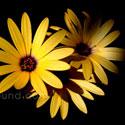 yellow daisies thumb